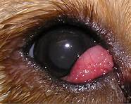 Home Remedies For Cherry Eye In Dogs