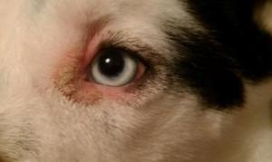 What Bacteria Causes Pink Eye In Dogs